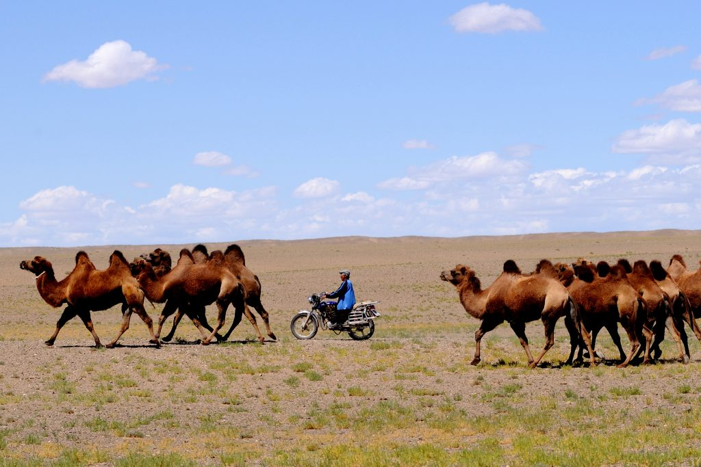 Local man on motorbike surrounded by Mongolian camels