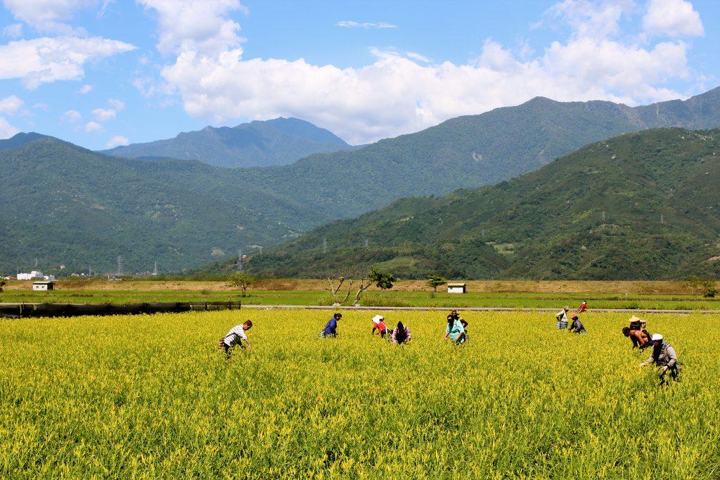 Mustard field in Taiwan
