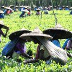 Local tea pickers in Sri Lanka
