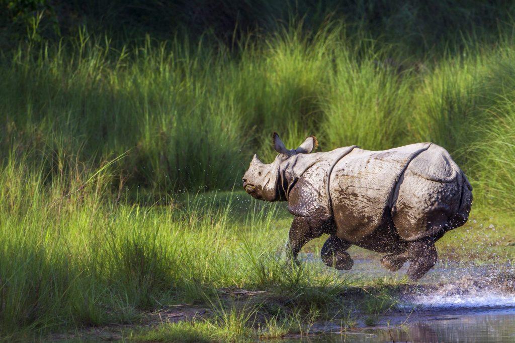 Rhino running through water to grass