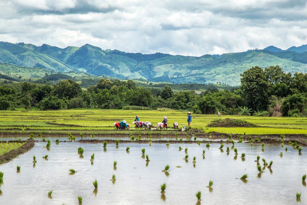 Transplanting rice in Luang Prabang Laos